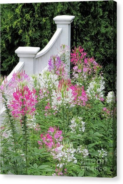 Cleomes Garden Canvas Print