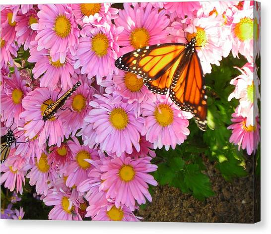 Cliff House Butterflies Canvas Print by Heather Weikel