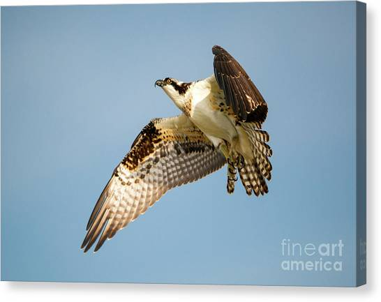 Osprey Canvas Print - Climb by Mike Dawson