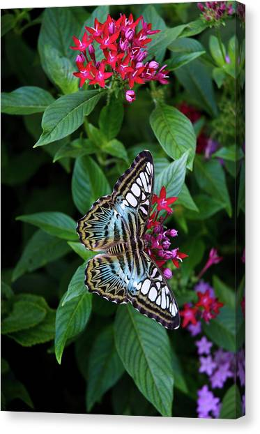 Clipper Butterfly On Star Flower Canvas Print
