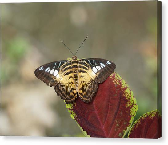 Canvas Print featuring the photograph Clipper Butterfly by Paul Gulliver