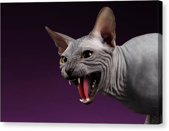 Sphynx Cats Canvas Print - Close-up Aggressive Sphynx Cat Hisses On Purple by Sergey Taran