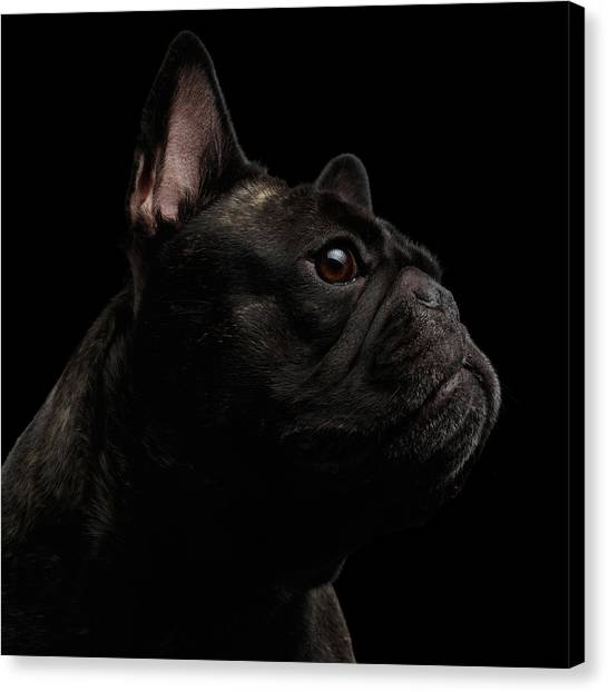 Dogs Canvas Print - Close-up French Bulldog Dog Like Monster In Profile View Isolated by Sergey Taran