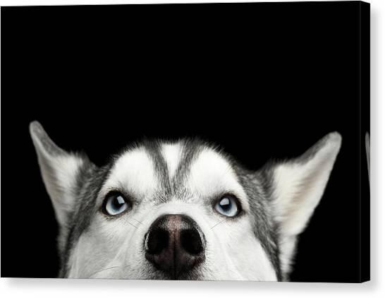 Close-up Head Of Peeking Siberian Husky Canvas Print