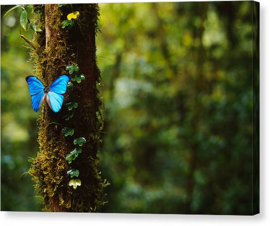 Monteverde Canvas Print - Close-up Of A Blue Morpho Butterfly by Panoramic Images
