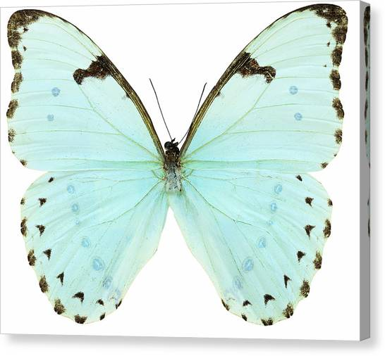 Cut-outs Canvas Print - Close-up Of A White Butterfly by Stockbyte