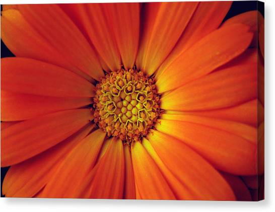 Close Up Of An Orange Daisy Canvas Print by PIXELS  XPOSED Ralph A Ledergerber Photography