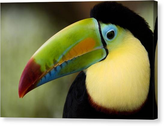 Toucan Canvas Print - Close-up Of Keel-billed Toucan by Panoramic Images