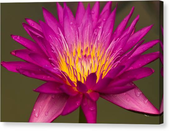 Close Up Of Pink Water Lily Canvas Print