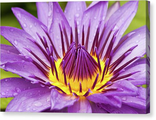 Close Up Of Violet Water Lily Canvas Print