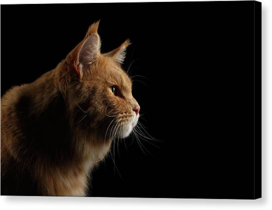 Close-up Portrait Ginger Maine Coon Cat Isolated On Black Background Canvas Print