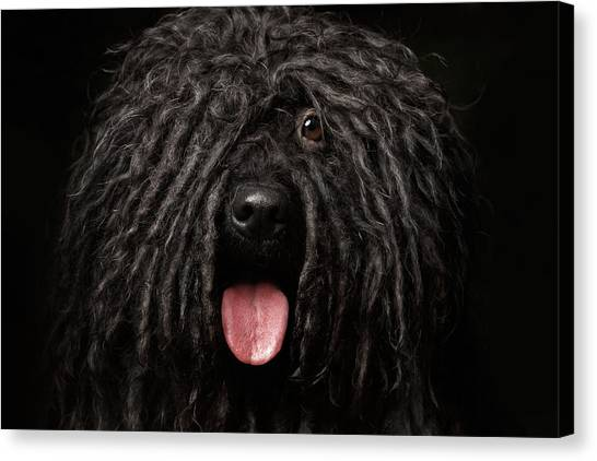 Dogs Canvas Print - Close Up Portrait Of Puli Dog Isolated On Black by Sergey Taran