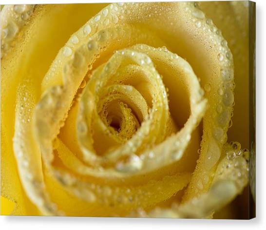 Close Up Yellow Rose Canvas Print