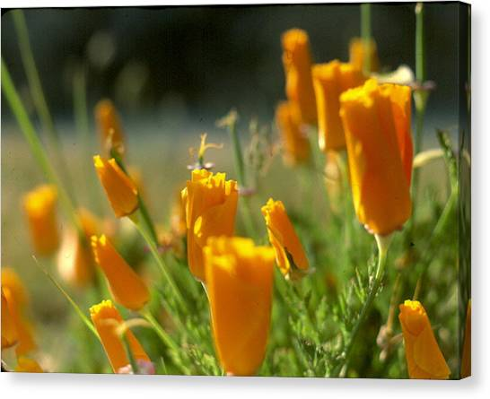 Closed California Poppies Canvas Print by Chris Gudger