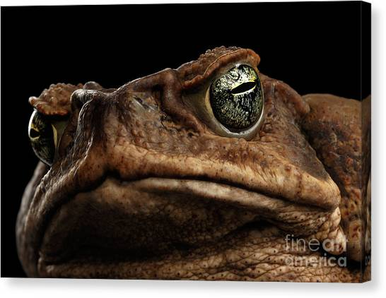 Reptiles Canvas Print - Closeup Cane Toad - Bufo Marinus, Giant Neotropical Or Marine Toad Isolated On Black Background by Sergey Taran