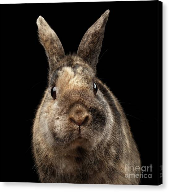 Closeup Funny Little Rabbit, Brown Fur, Isolated On Black Backgr Canvas Print