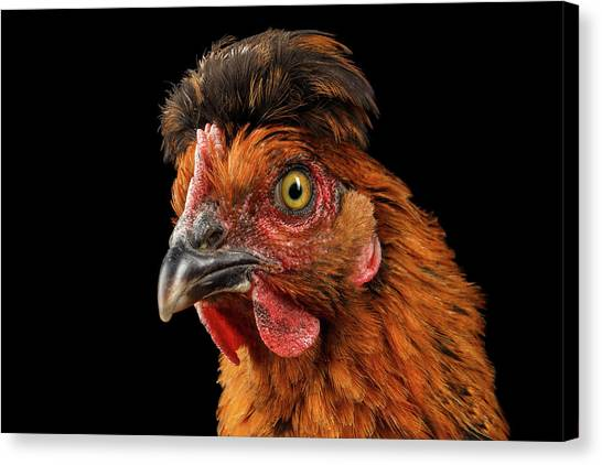 Closeup Ginger Chicken Isolated On Black Background In Profile View Canvas Print
