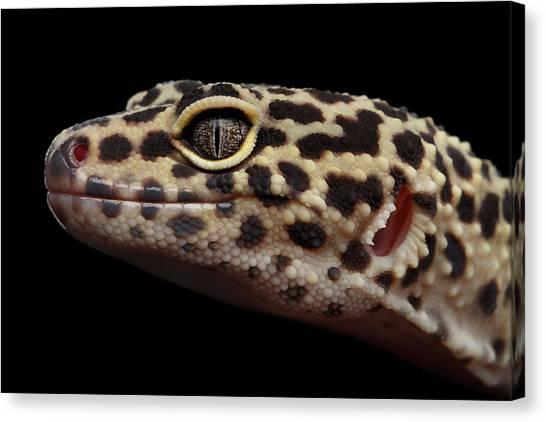 Reptile Canvas Print - Closeup Head Of Leopard Gecko Eublepharis Macularius Isolated On Black Background by Sergey Taran