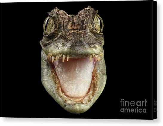 Reptiles Canvas Print - Closeup Head Of Young Cayman Crocodile , Reptile With Opened Mouth Isolated On Black Background, Fro by Sergey Taran