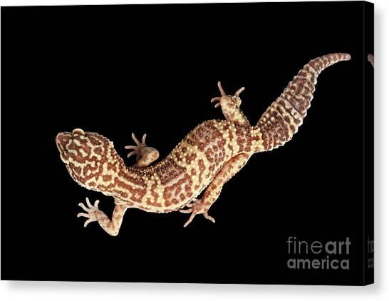 Reptiles Canvas Print - Closeup Leopard Gecko Eublepharis Macularius Isolated On Black Background by Sergey Taran