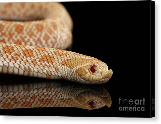 Reptiles Canvas Print - Closeup Pink Pastel Albino Western Hognose Snake, Heterodon Nasicus Isolated On Black Background by Sergey Taran
