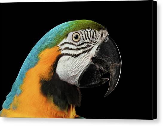 Perching Birds Canvas Print - Closeup Portrait Of A Blue And Yellow Macaw Parrot Face Isolated On Black Background by Sergey Taran