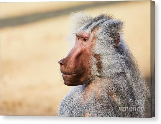 Canvas Print featuring the photograph Closeup Portrait Of A Male Baboon by Nick Biemans