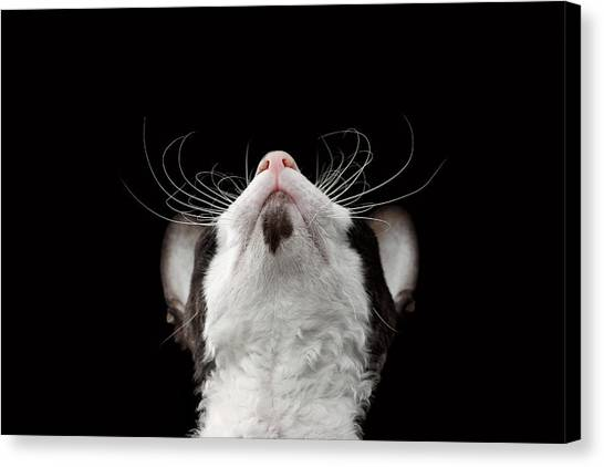 Closeup Portrait Of Cornish Rex Looking Up Isolated On Black  Canvas Print