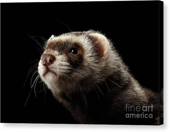 Closeup Portrait Of Funny Ferret Looking At The Camera Isolated On Black Background, Front View Canvas Print