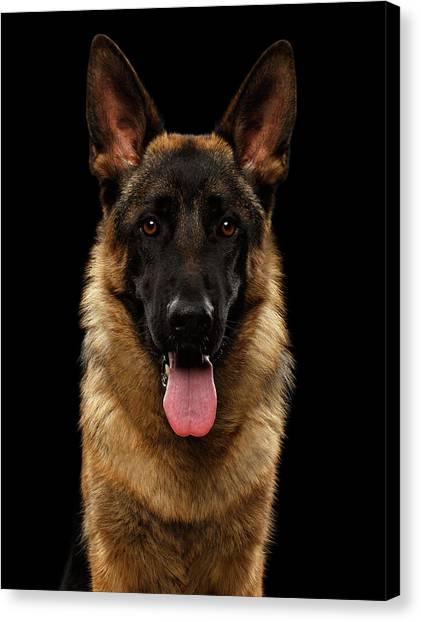 Closeup Portrait Of German Shepherd On Black  Canvas Print