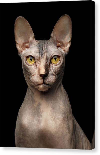 Sphynx Cats Canvas Print - Closeup Portrait Of Grumpy Sphynx Cat, Front View, Black Isolate by Sergey Taran