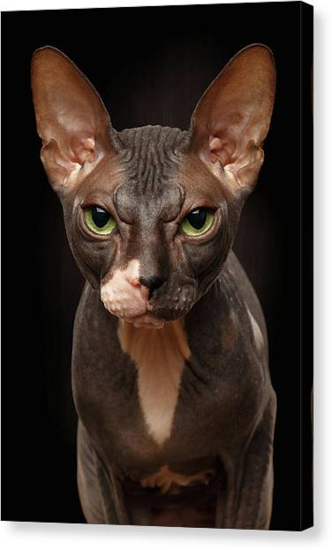 Sphynx Cats Canvas Print - Closeup Portrait Of Grumpy Sphynx Cat Front View On Black  by Sergey Taran