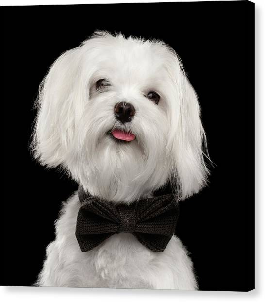 Closeup Portrait Of Happy White Maltese Dog With Bow Looking In Camera Isolated On Black Background Canvas Print