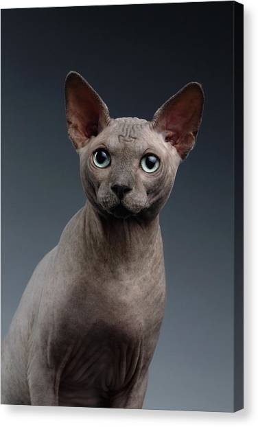 Sphynx Cats Canvas Print - Closeup Portrait Of Sphynx Cat Looking In Camera On Dark  by Sergey Taran