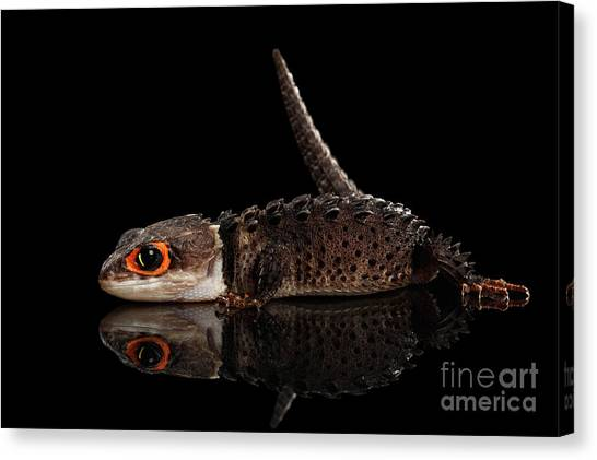 Reptiles Canvas Print - Closeup Red-eyed Crocodile Skink, Tribolonotus Gracilis, Isolated On Black Background by Sergey Taran
