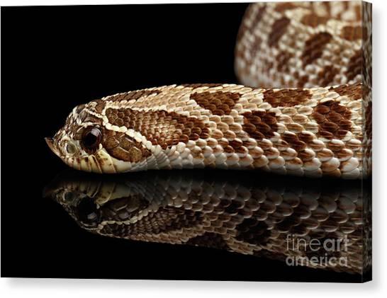 Closeup Western Hognose Snake, Isolated On Black Background Canvas Print