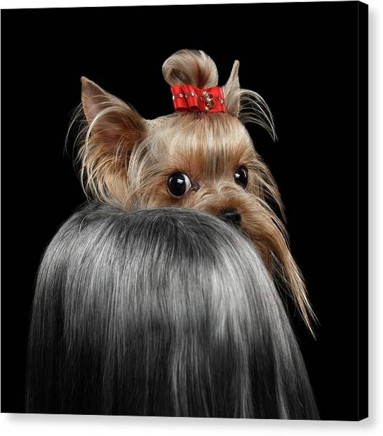 Dog Canvas Print -  Closeup Yorkshire Terrier Dog, Long Groomed Hair Pity Looking Back by Sergey Taran