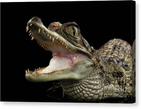 Reptiles Canvas Print - Closeup Young Cayman Crocodile, Reptile With Opened Mouth Isolated On Black Background by Sergey Taran