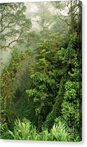 Monteverde Canvas Print - Cloud Forest, Monteverde by Inga Spence