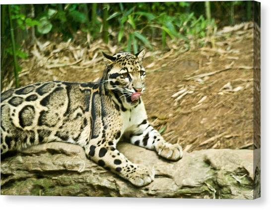 Clouded Leopard 1 Canvas Print