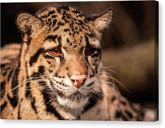 Clouded Leopard II Canvas Print