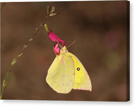 Clouded Sulphur Butterfly On Pink Wildflower Canvas Print
