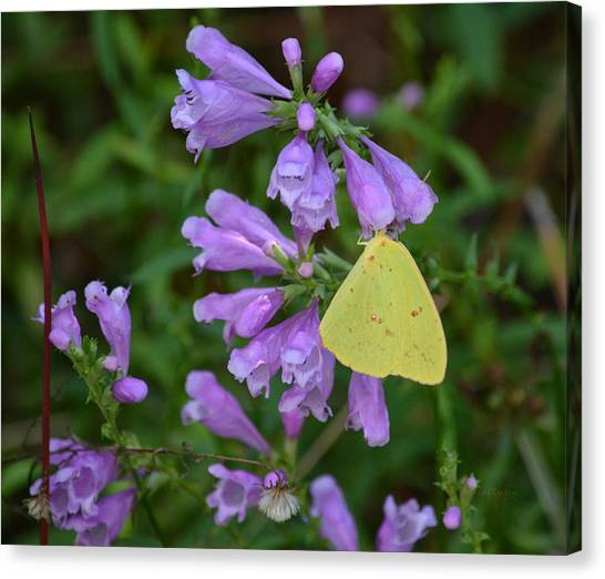 Sulfur Butterfly Canvas Print - Cloudless Sulfur - Obedient Plant by rd Erickson