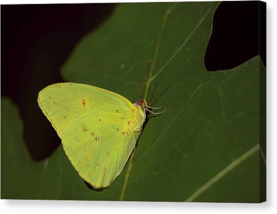 Sulfur Butterfly Canvas Print - Cloudless Sulphur Butterfly by Aaron Rushin