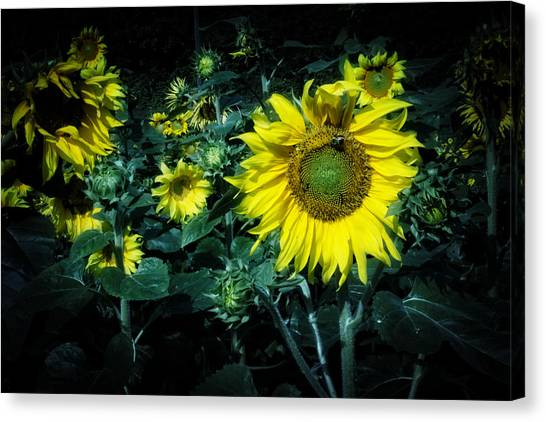 Cloudy Day In A Sunflower Field Canvas Print