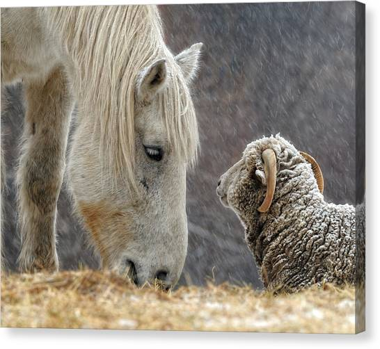 Farm Animals Canvas Print - Clouseau And Friend by Don Schroder