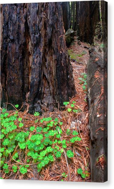 Clover And Redwood Canvas Print by Charlie Hunt