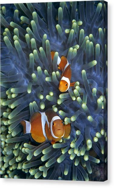 Anemonefish Canvas Print - Clown Anemonefish Amphiprion Ocellaris by Hiroya Minakuchi