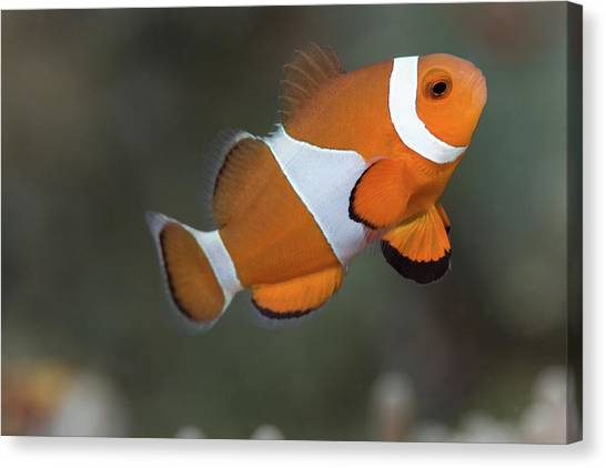 Anemonefish Canvas Print - Clown Anemonefish (amphiprion Ocellaris) by Steven Trainoff Ph.D.
