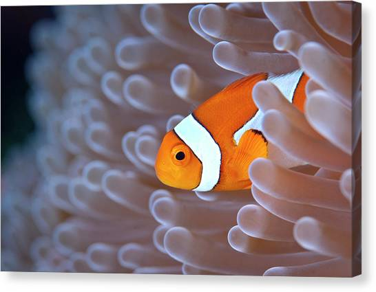 Fish Canvas Print - Clownfish In White Anemone by Alastair Pollock Photography